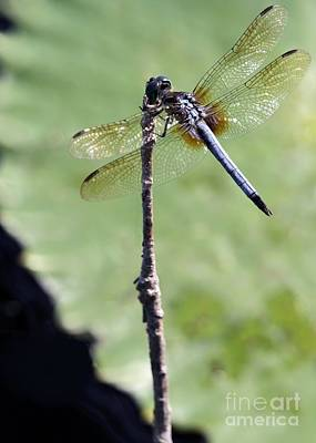 Blue Dasher Dragonfly Dancer Print by Sabrina L Ryan