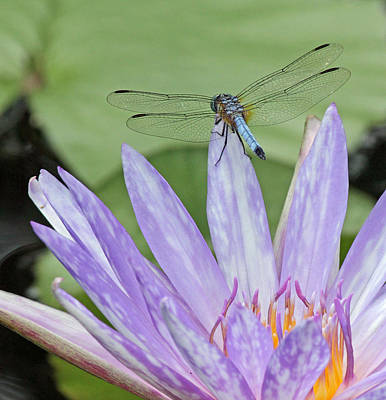 Photograph - Blue Dasher Dragonfly On Waterlily by Becky Lodes