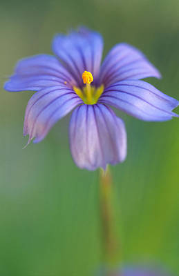 Blue Eyed Grass 2 Print by Kathy Yates