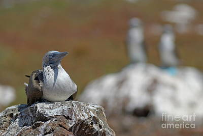 Blue-footed Booby  On Rock Print by Sami Sarkis