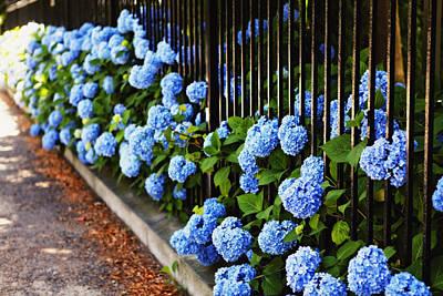 Blue Hydrangeas Of Bellevue Avenue Print by George Oze