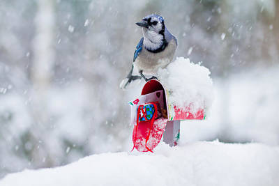 Blue Jay In Snow On Tiny Mailbox Print by Nancy Rose