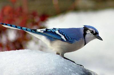 Cyanocitta Cristata Photograph - Blue Jay by Kristin Elmquist