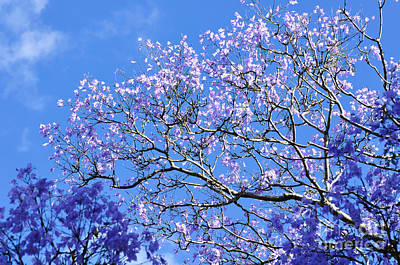 Blue Sky And Jacaranda Blossoms Print by Kaye Menner