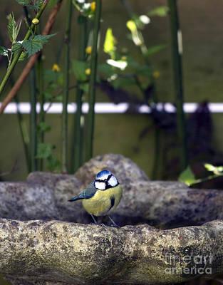 Blue Tit On Bird Bath Print by Jane Rix