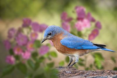 Bluebird In The Rose Garden Original by Bonnie Barry