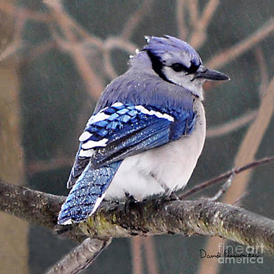 Bluejay Original by David Pennypacker