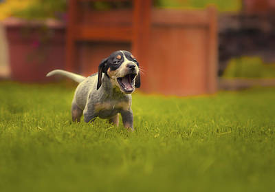 Coonhound Photograph - Bluetick Coonhound Puppy by Zachary Boumeester