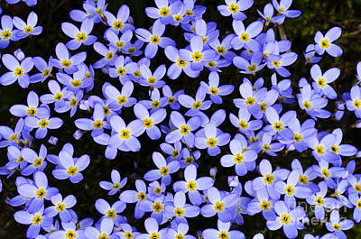 Bluets In Shade Print by Thomas R Fletcher