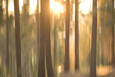 Blurred View Of Conifer Trees At Sunset Print by Phil Schermeister