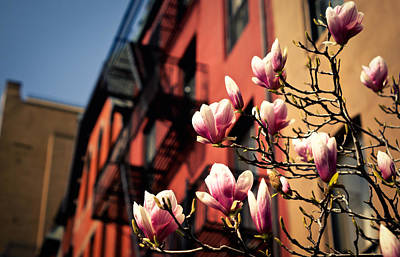 Nyc Photograph - Blush Response - Japanese Magnolia Blossoms In The Spring by Vivienne Gucwa