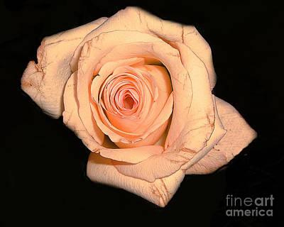 Blush Rose 2 Print by Merton Allen