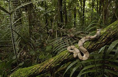 Boa Constrictor Photograph - Boa Constrictor Boa Constrictor Coiled by Pete Oxford