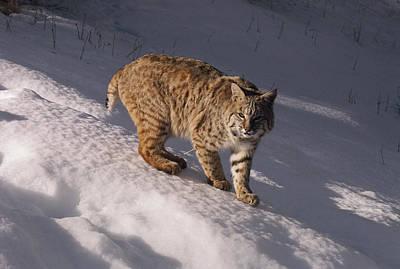 Bobcat Felis Rufus Prowls Over The Snow Print by Dr. Maurice G. Hornocker