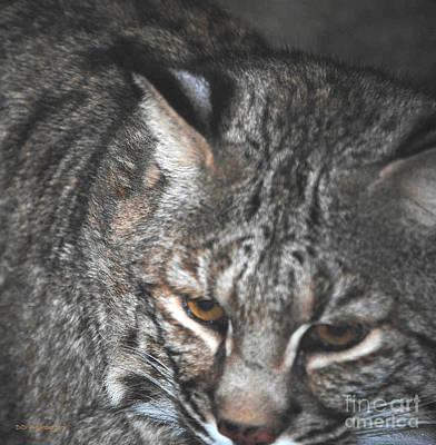 Bobcat Love Print by DiDi Higginbotham