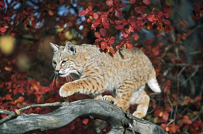 Bobcat Walks On Branch Through Hawthorn Print by David Ponton