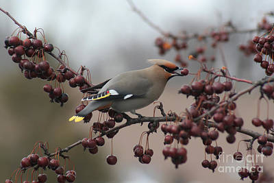 Bohemian Waxwing Print by Chris Hill
