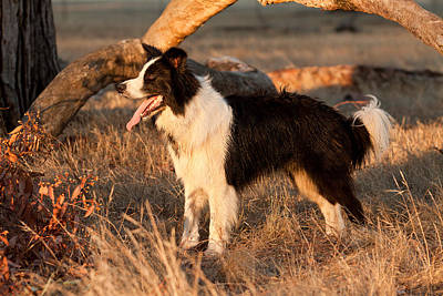 Border Collie At Sunset Print by Michelle Wrighton