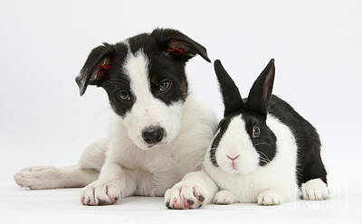 Border Collie Pup And Dutch Rabbit Print by Mark Taylor