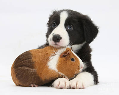 Border Collie Pup And Tricolor Guinea Print by Mark Taylor