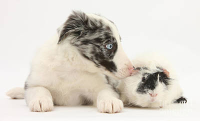 Border Collie Puppy With Rough-haired Print by Mark Taylor