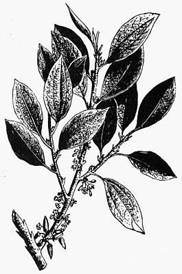 Botany: Coca Shrub Print by Granger