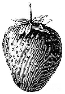 Botany: Strawberry Print by Granger