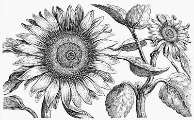 Botany: Sunflower Print by Granger