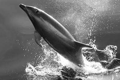Bottlenose Dolphin, Tusiops Truncatus Print by Ralph Lee Hopkins