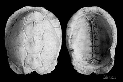 Box Turtle Shell Print by Frederic A Reinecke