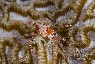 Boxing Crab In Raja Ampat, Indonesia Print by Todd Winner