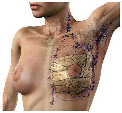 Breast Lymphatic System, Artwork Print by D & L Graphics