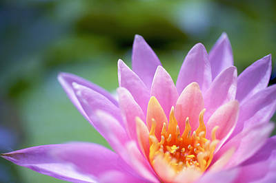 Bright Pink Water Lily II Print by Kicka Witte