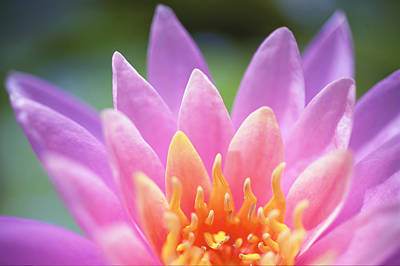 Bright Pink Water Lily Print by Kicka Witte