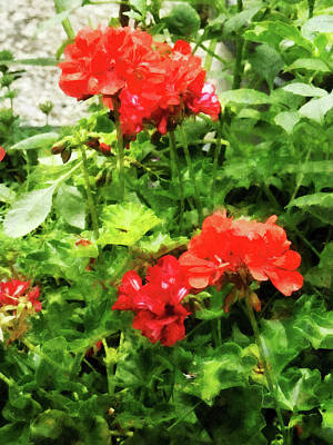 Bright Red Geraniums Print by Susan Savad