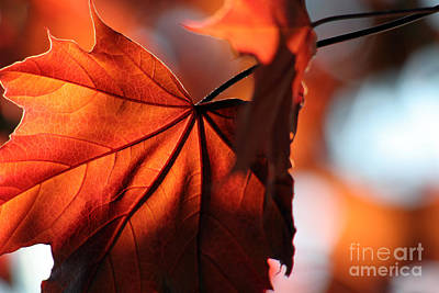 Brilliant Bronze Maple Leaf Print by Chris Hill