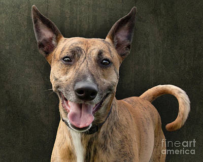 Brindle Dog With Great Ears Print by Ethiriel  Photography
