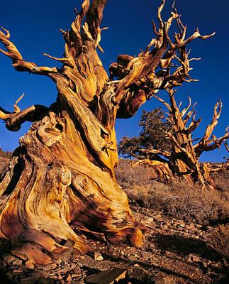 Blue Photograph - Bristlecone Pine by Tim Fleming