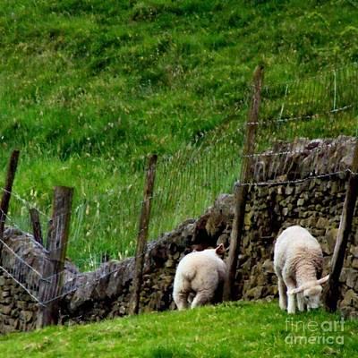 Sheep Photograph - British Lamb by Isabella Abbie Shores