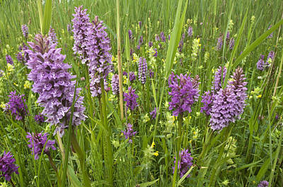 Zeeland Photograph - Broad-leaved Marsh Orchid Dactylorhiza by Jan Vink