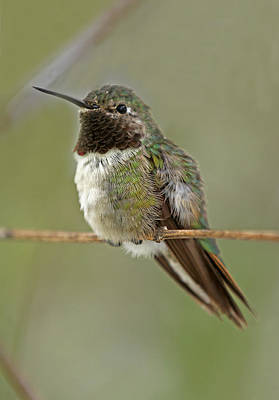Animals Photograph - Broad-tailed Hummingbird by Juergen Roth