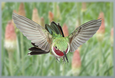 Broadtail Hummingbird Male And Red Hot Poker Print by Gregory Scott