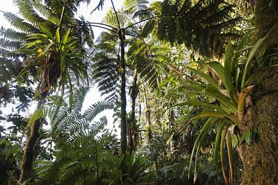 Bromeliad And Tree Ferns  Print by Cyril Ruoso