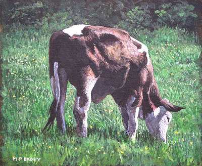 Brown And White Cow Eating Grass Print by Martin Davey