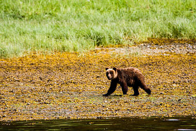 Up201209 Photograph - Brown Bear Prince Of Wales Island Two by Josh Whalen