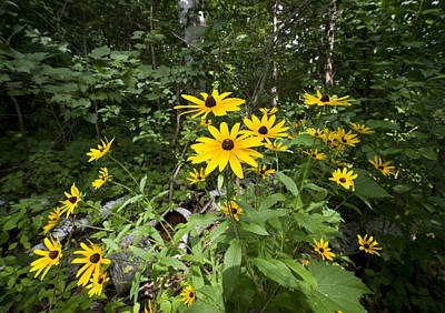Brown-eyed Susan In The Woods Print by Gary Eason