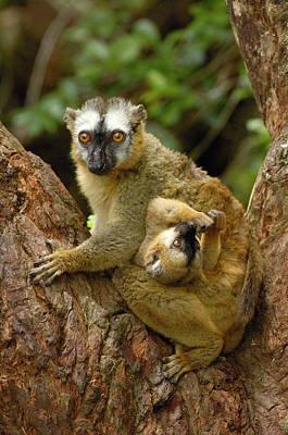 Brown Lemur Lemur Fulvus Female Print by Pete Oxford