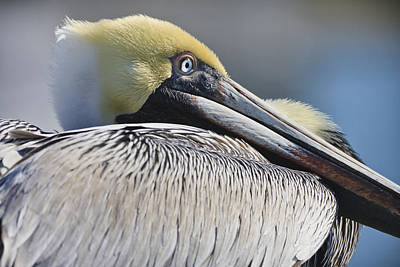 Pelican Photograph - Brown Pelican by Adam Romanowicz