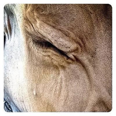 Cow Photograph - Brown Swiss Cow by Natasha Marco