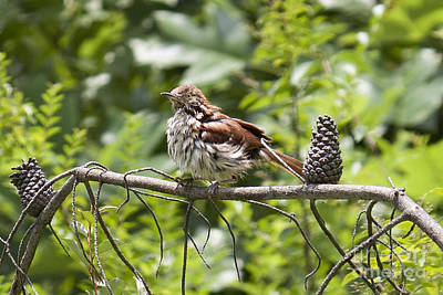 Brown Thrasher Print by Lena Auxier